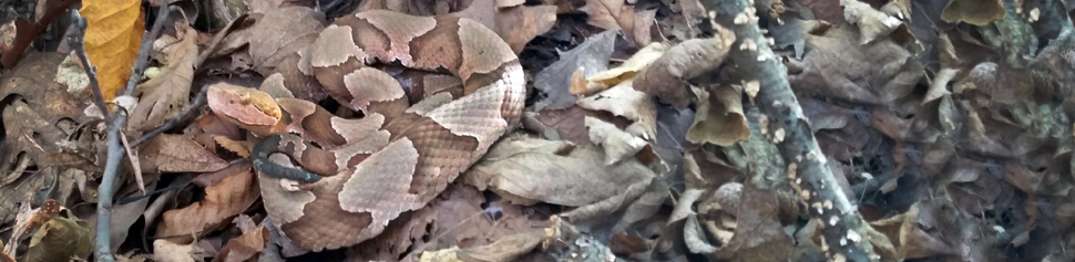 Photo of a Copperhead Snake